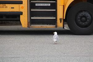 mouette marchant vers un bus jaune