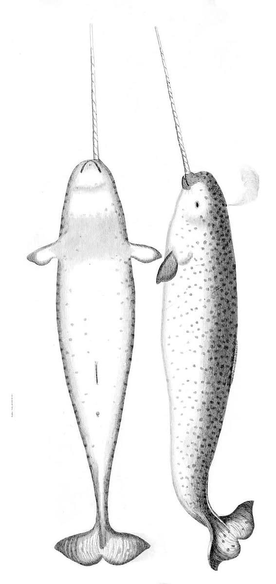 dessin de narval